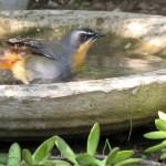 Rudzik przy poidełku dla ptaków w ogrodzie