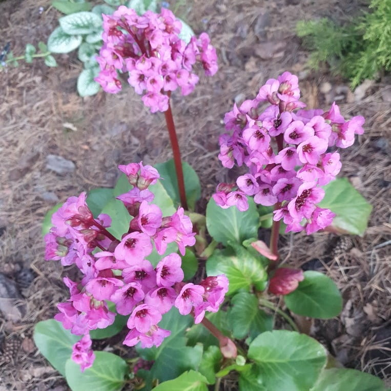 Kwitnąca na różowo bergenia sercolistna