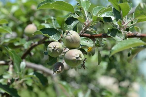 リンゴの実