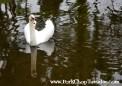 swan reflection 2