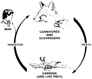 """Figure 2. Syivatic cycle, representing the transmission of trichinosis in nature, independent of man. """"Carnivores and Scavengers"""" include fox, bear, rat, walrus, hyena, wildcats and many others. In the case of human infection, the source would be called game meat, rather than carrion, and the infection would represent an offshoot of the cycle. Original diagram from W. C. Campbell, """"Epidemiology I. Modes of Transmission."""" In Trichinella and Trichinosis, edited by W. C. Campbell. (New York:—Plenum Press, 1983): 425-444. (Adapted from and used with permission)"""