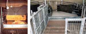 Figure 2. Werribee Farrowing pen is a non-crate farrowing system designed by 6ft x 8ft Cronin and colleagues (2000). Photo courtesy of Greg Cronin, 20154.
