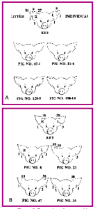 Figure 8. Examples of ear-notching numbering systems: A. Universal earnotching system using litter and individual pig numbers; B. Using individual pig numbers.