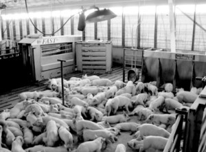 Photo 7. Pigs housed in a wean-to-finish building with automatic sorting scales