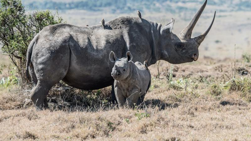 Campaign launched to save Black Rhino amidst COVID pandemic international travel bans