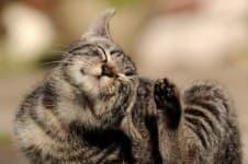 Отит у кошки симптомы лечение причины как правильно чистить уши