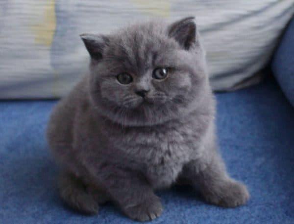 Шотландия сүйкімді котенкасы