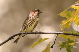 Purple finch, Central Park 10/14/2014 v2