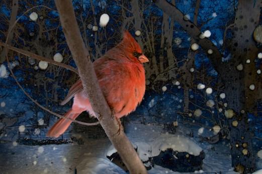 Northern Cardinal. Central Park 1/28/2015