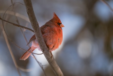 Northern Cardinal, Central Park 1/28/2015