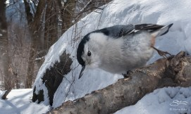 White-breasted Nuthatch, Central Park 2/17/2015