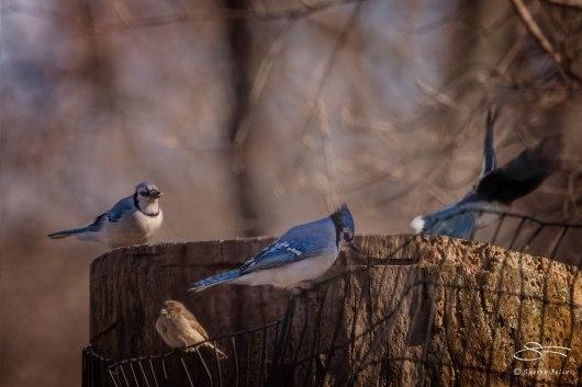 Blue Jays, Central Park 3/24/2015