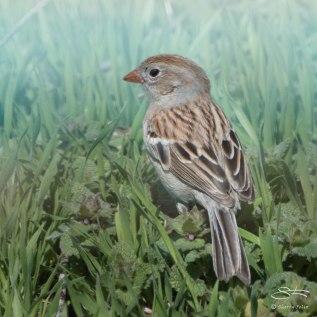 Field Sparrow, Hudson NYC April 13, 2015