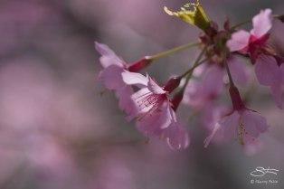 Pink Blossoms, Central Park April 18, 2015