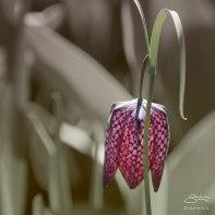Fritillaria, Central Park 4/28/2015