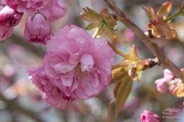 Cherry (Prunus), NYBG 4/29/2015