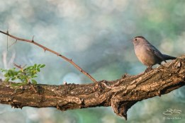 Gray Catbird, Central Park 5/5/2015