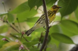 Cape May Warbler, Central Park 5/5/2015