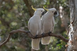 Sulphur-crested Cockatoo, Centenial Park