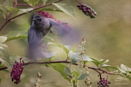 Gray Catbird, Central Park 9/12/15