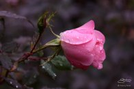 Rose in St Luke's