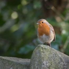 Robin, Abney Park, London 12/28/15