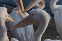 White Pelican, Regents Park 12/31/15