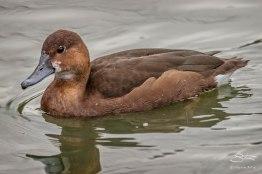 Ferruginous Duck, Deer Park, Greenwich 1/2/16