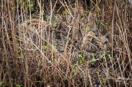 Snipe, WWT London Wetland 1/4/16