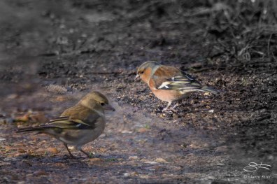 Common Chaffinch, WWT London Wetland 1/4/16