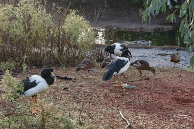 Magpie Goose and Plumed Whistling Duck, WWT London Wetland 1/4/16