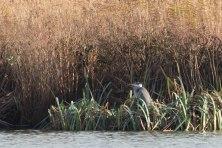 Grey Heron, WWT London Wetland 1/4/16