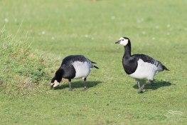 Barnacle Goose, WWT London Wetland 1/4/16
