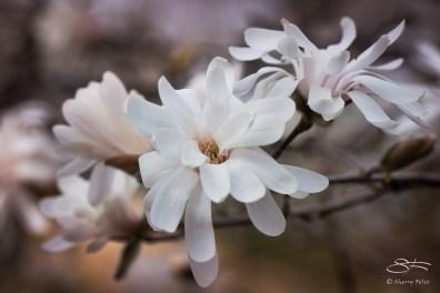Star Magnolia, Central Park March 24, 2016