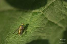 Small Flourescent Green Fly (Clondylostylus), Central Park 6/24/2016