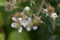 Japanese Wineberry (Rubus phoenicolasius), Central Park 6/24/2016