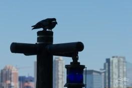 Rock Pigeon, Battery Park 7/23/2016