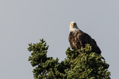 Bald Eagle, Grand Manan 9/3/2012