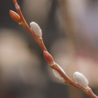 Pussy Willow, High Line 2/19/2017