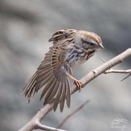 Song Sparrow, Central Park 3/29/2017