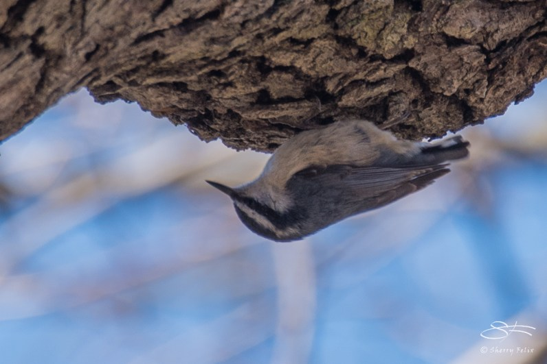 Red-breasted Nuthatch, Central Park 3/29/2017