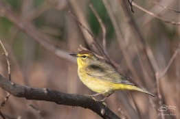 Palm Warbler, Central Park 4/11/2017