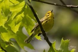 Prarie Warbler, Central Park 5/9/2017
