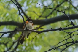 Redstart, Central Park 5/16/2017