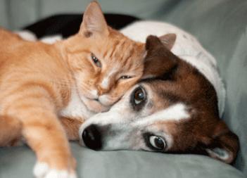 beaglecat
