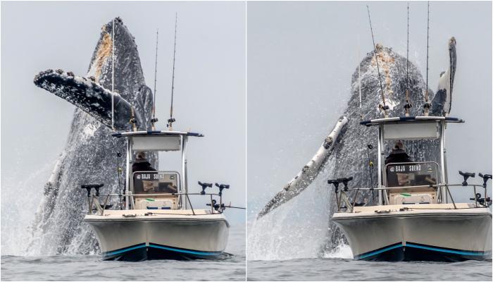 Impresionante video muestra el salto de una ballena gigante al lado de un pescador