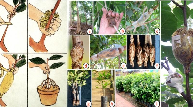 , Guía ilustrada para hacer todo tipo de acodos en la agricultura: mugrones, terrestres, aéreos, recalce…