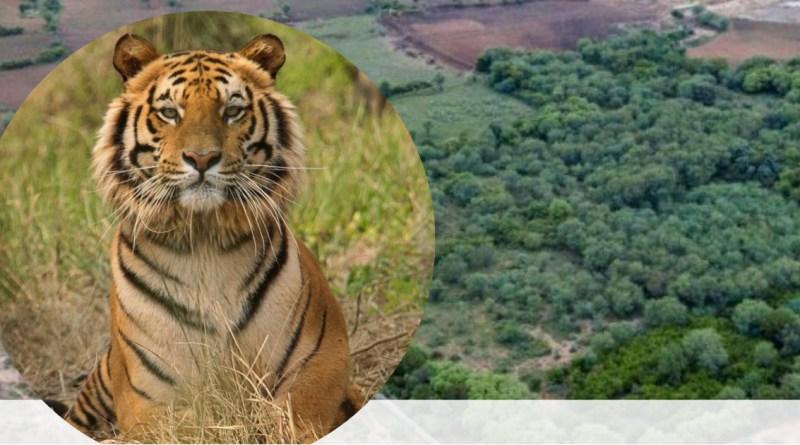 , Pareja compra tierras y las convierte en reserva para que regresen los tigres