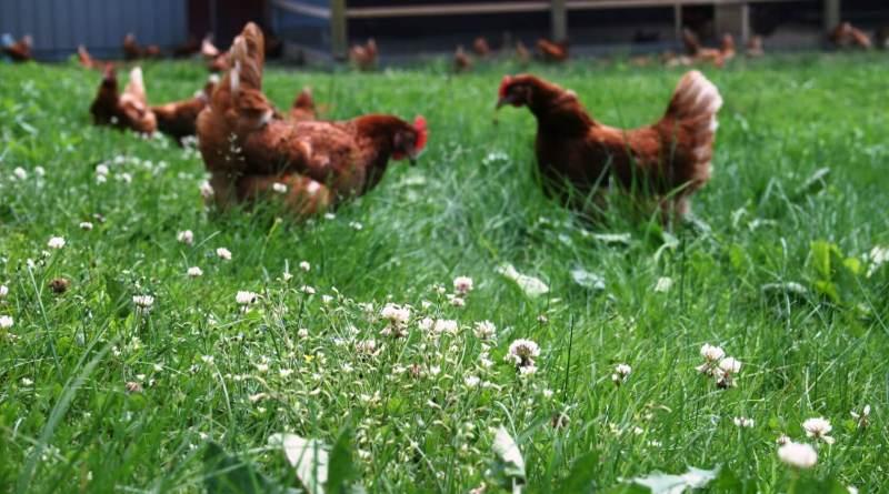 , En Francia, las gallinas sustituyen a los pesticidas para el control de plagas