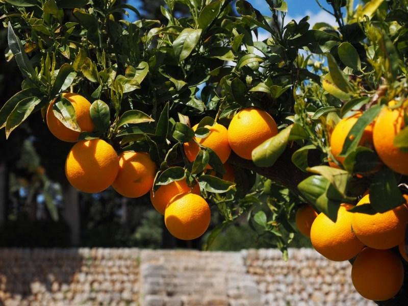 Sevilla aprovecha sus naranjas amargas para producir electricidad